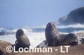 Arctocephalus forsteri New Zealand Fur-Seal LDY-198 ©Jiri Lochman - Lochman LT