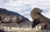 Arctocephalus forsteri New Zealand Fur-Seal LDY-199 ©Jiri Lochman - Lochman LT