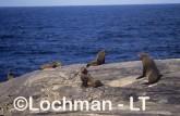 Arctocephalus forsteri New Zealand Fur-Seal LDY-203 ©Jiri Lochman - Lochman LT