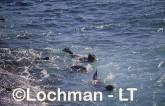 Arctocephalus forsteri New Zealand Fur-Seal LDY-211 ©Jiri Lochman - Lochman LT
