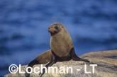 Arctocephalus forsteri New Zealand Fur-Seal  PCY-737 ©Jiri Lochman-  Lochman LT