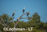 Ardea pacifica - White-necked Heron LLT-202 ©Jiri Lochman - Lochman LT