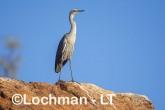 Ardea pacifica - White-necked Heron LLT-206 ©Jiri Lochman - Lochman LT