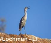 Ardea pacifica - White-necked Heron LLT-207 ©Jiri Lochman - Lochman LT