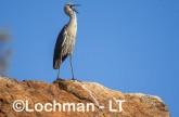 Ardea pacifica - White-necked Heron LLT-208 ©Jiri Lochman - Lochman LT