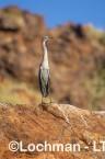 Ardea pacifica - White-necked Heron LLT-209 ©Jiri Lochman - Lochman LT
