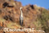 Ardea pacifica - White-necked Heron LLT-210 ©Jiri Lochman - Lochman LT
