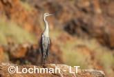 Ardea pacifica - White-necked Heron LLT-211 ©Jiri Lochman - Lochman LT