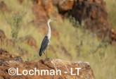 Ardea pacifica - White-necked Heron LLT-213 ©Jiri Lochman - Lochman LT