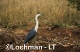 Ardea pacifica - White-necked Heron PAY-188 ©Jiri Lochman - Lochman LT