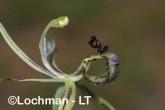 Caladenia barbarossa - Dragon Orchid AGD-313 ©Marie Lochman - Lochman LT