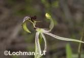 Caladenia barbarossa - Dragon Orchid AGD-315 ©Marie Lochman - Lochman LT