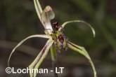 Caladenia barbarossa - Dragon Orchid AGD-316 ©Marie Lochman - Lochman LT