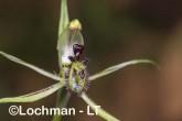 Caladenia barbarossa - Dragon Orchid AGD-318 ©Marie Lochman - Lochman LT