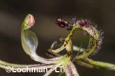 Caladenia barbarossa - Dragon Orchid AGD-321 ©Marie Lochman - Lochman LT