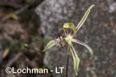 Caladenia barbarossa - Dragon Orchid LLR-279 ©Jiri Lochman - Lochman LT