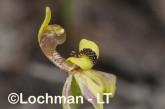 Caladenia bryceana - Dwarf Spider Orchid AGD-117 ©Marie Lochman - Lochman LT