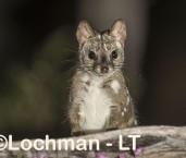 Dasyurus geoffroii - Chuditch LLT-335 ©Jiri Lochman - Lochman LT