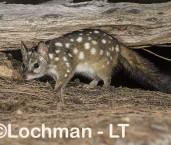 Dasyurus geoffroii - Chuditch LLT-337 ©Jiri Lochman - Lochman LT