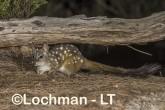 Dasyurus geoffroii - Chuditch LLT-340 ©Jiri Lochman - Lochman LT