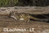 Dasyurus geoffroii - Chuditch LLT-344 ©Jiri Lochman - Lochman LT