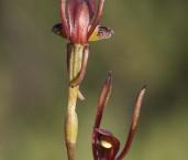 Leporella fimbriata - Hare Orchid AFE-996 ©Marie Lochman - Lochman LT