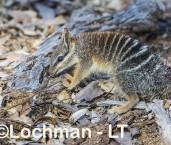 Myrmecobius fasciatus - Numbat - juvenile AHD-954 ©Marie Lochman - Lochman LT