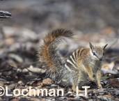 Myrmecobius fasciatus - Numbat - juvenile LLT-366 ©Jiri Lochman - Lochman LT