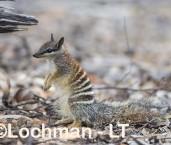 Myrmecobius fasciatus - Numbat - juvenile LLT-368 ©Jiri Lochman - Lochman LT
