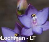 Orchidaceae Thelymitra macrophylla Scented Sun Orchid ABD-228 © Lochman Transparencies