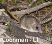 Phascogale calura - Red-tailed Phascogale LLT-350 ©Jiri Lochman - Lochman LT