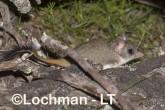 Phascogale calura - Red-tailed Phascogale LLT-351 ©Jiri Lochman - Lochman LT