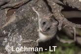 Phascogale calura - Red-tailed Phascogale LLT-352 ©Jiri Lochman - Lochman LT