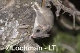 Phascogale calura - Red-tailed Phascogale LLT-353 ©Jiri Lochman - Lochman LT