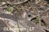 Phascogale calura - Red-tailed Phascogale LLT-355 ©Jiri Lochman - Lochman LT
