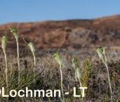 Pterostylis dilatata - Robust Snail Orchid LLR-278 ©Jiri Lochman - Lochman LT