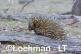 Short-beaked Echidna AHD-997 ©Marie Lochman - Lochman LT