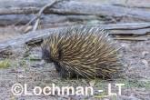 Short-beaked Echidna AHD-998 ©Marie Lochman - Lochman LT