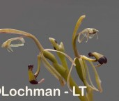 Spiculaea ciliata - Elbow Orchid AGD-101 ©Marie Lochman - Lochman LT