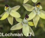 Thelymitra antennifera - Vanilla Orchid AGD-353 ©Marie Lochman - Lochman LT
