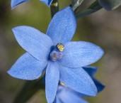 Thelymitra crinita - Blue Lady Orchid AGD-086 ©Marie Lochman - Lochman LT