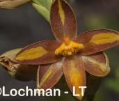 Thelymitra stellata - Star Orchid AGD-074 ©Marie Lochman - Lochman LT