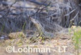 Varanus gouldii LLT-513 ©Jiri Lochman - Lochman LT