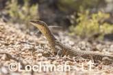 Varanus gouldii LLT-516 ©Jiri Lochman - Lochman LT