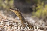 Varanus gouldii LLT-517 ©Jiri Lochman - Lochman LT