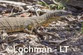Varanus gouldii LLT-518 ©Jiri Lochman - Lochman LT