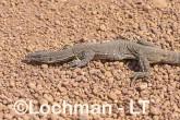 Varanus gouldii LLT-520 ©Jiri Lochman - Lochman LT