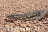 Varanus gouldii LLT-521 ©Jiri Lochman - Lochman LT