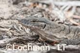Varanus rosenbergi LLT-522 ©Jiri Lochman - Lochman LT