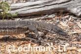 Varanus rosenbergi LLT-523 ©Jiri Lochman - Lochman LT